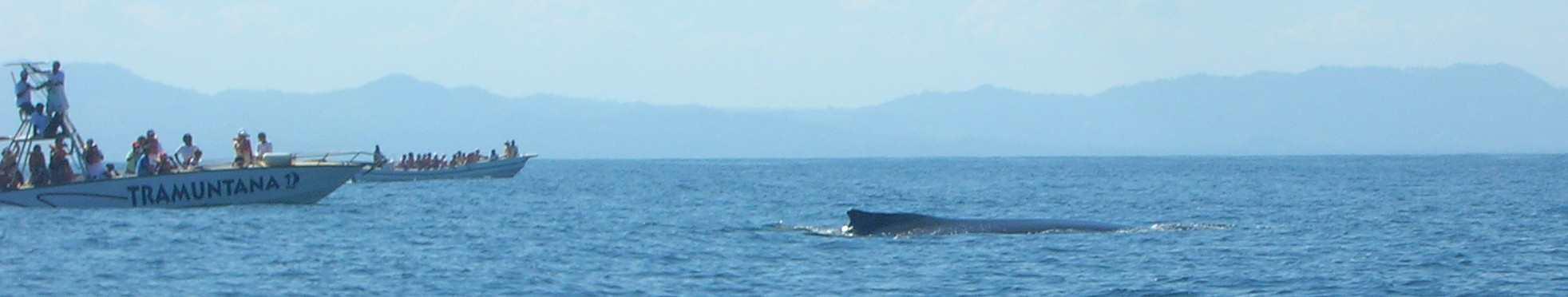 balena e mave di avvistamento baia di samanà