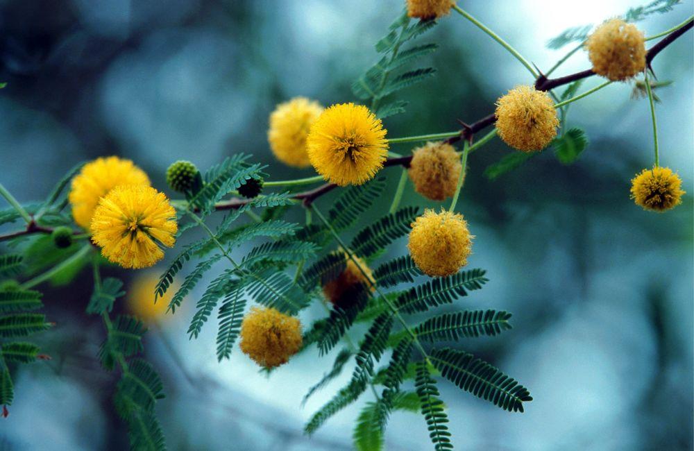 festa-della-donna-8-marzo-mimosa-2