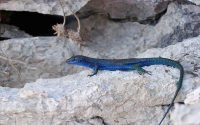 lucertola-azzurra-luigi-esposito_d_0_0_800.20150728175125