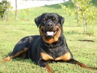 xrottweiler-breeders-nsw-78.jpg.pagespeed.ic.jRO9OLy7Tu