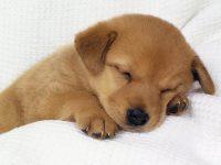 cane-cucciolo-che-dorme