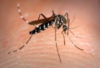 Aedes albopictus mosquito also known as the asian tiger mosquito