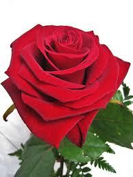 fiore in amore