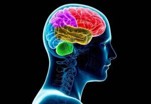 Human brain, computer illustration,