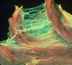fascia-tessuto-connettivo