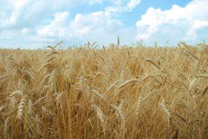 fields-of-grain