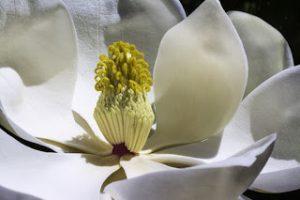 magnolia-1077384_1280
