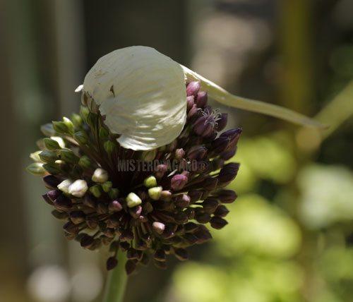 .- Allium®poetesse