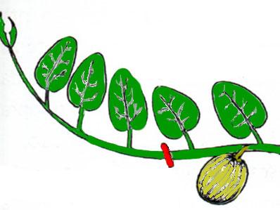 cimare-sopra-lòa-foglia-cresciuta-dopo-il-frutto