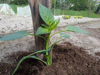 peperone in campo