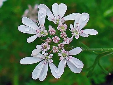 Fiore di Coriandolo