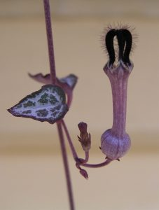 Ceropegia_linearis_subsp_woodii