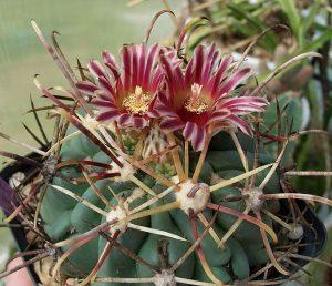 ancistrocactus-kaktussnake