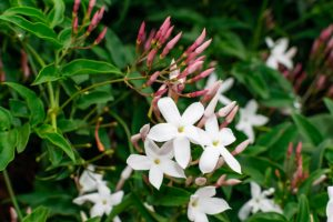 jasmine-flower-jasminum-officinale-blooming-with-green-leaves_137628-17