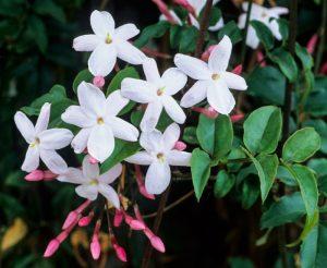 jasminum-polyanthum-jazmin-de-invierno-800x800