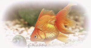er-pesciolino-rosso