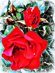 rosarossa2