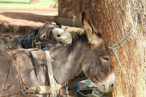 donkey-2742362__340