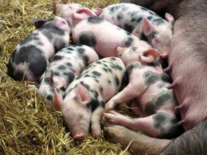 piglets-2736051_960_720