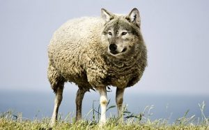 wolf-in-sheeps-clothing-2577813__340[1]