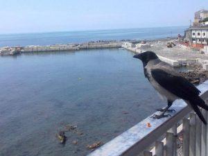 corvo sul porto