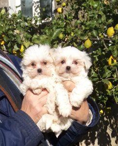 Puffi bianchi: i cuccioli di Ullallà crescono :)