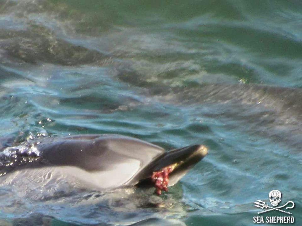 Strage di delfini: i volontari documentano la mattanza tra il sangue e le grida degli animali